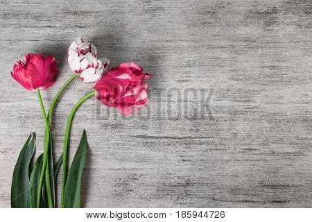 Tulip flowers on grey stone background. Top view copy space