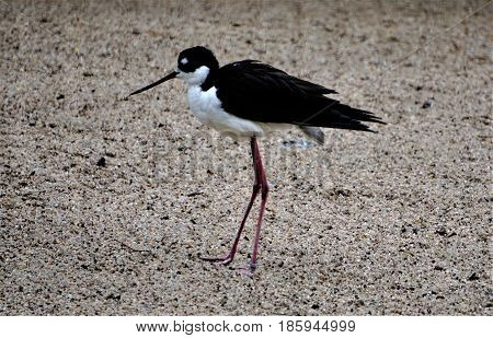Picture of a black-necked stilt walking on the shore