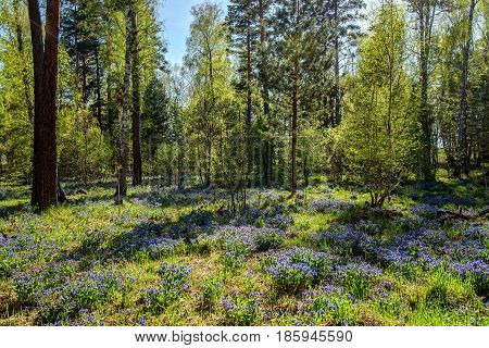 Beautiful spring natural background with mixed forest with birches and pines and bright blue wildflowers Medunica on the glade