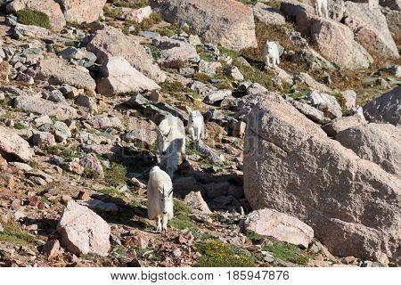 Wild Mountain Goats on Colorado Mountain Peaks.