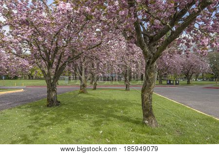 Trees in bloom in a public park Oregon state.