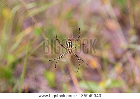 Banded garden or golden orb weaver spider. Yellow and black garden spider Mexico.