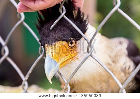 A tropical version of a vulture, the Crested Caracara reaches the United States only in Arizona, Texas, and Florida. It is a bird that shares many characteristics of the parrot family and very smart.