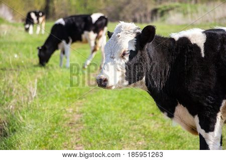 A black and white cow looks into the camera lens