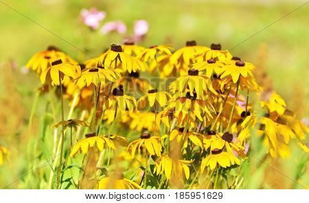 Beautifful Rudbeckia flower in garden. Spring time