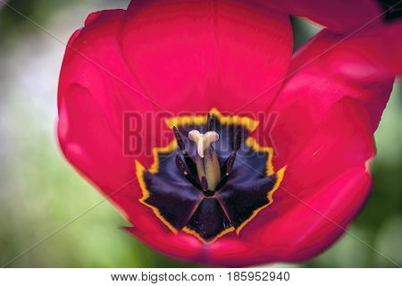 A close up photo of the stamen of a red tulip.