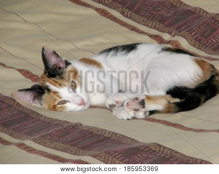A CALICO KITTEN RELAXING ON THE BED 22bb