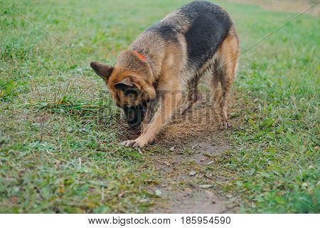 A German shepherd dog digs a hole in the field. German Shepherd Dogs Walking