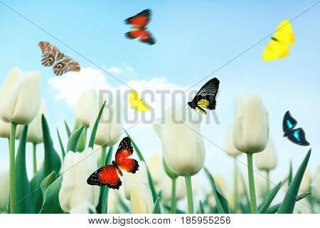 Beautiful butterflies flying over field of blooming tulips
