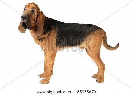 Studio shot of eighteen months old purebred Bloodhound dog over white background