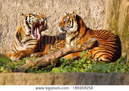 Tiger (Panthera tigris) female and male showing tusks