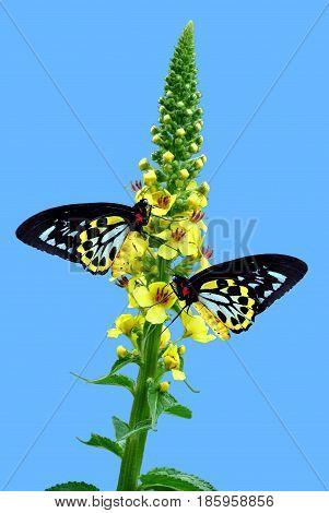 Cairns Birdwing Latin name Ornithoptera euphorion on Agrimony flowers