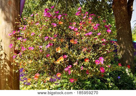 Shrubby Purslane Latin name Portulaca suffrutescens flowers in a hanging basket