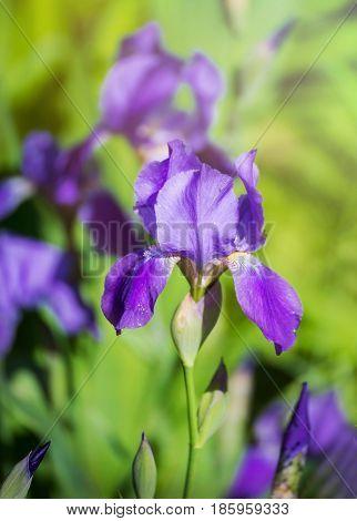 Beautiful garden flowers mauve irises. Beaiutiful flowering Siberian iris flower blossom in bloom.