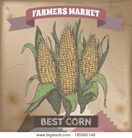 Fresh corn cobs hand drawn color sketch. Farmers market collection. Great for farming and agricultural design.