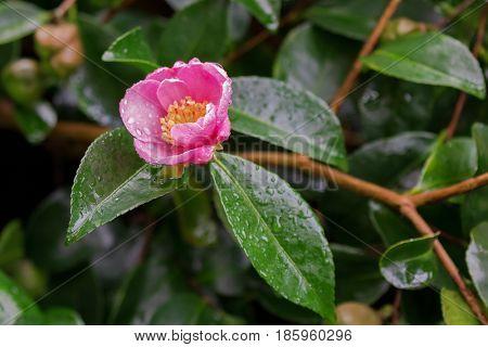 Closeup of wet Camellia tea flower (tsubaki) in pink petal with yellow stamens after rain in garden, Australia
