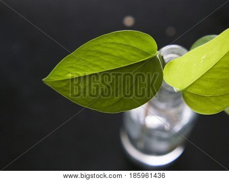 Beautiful green leaves of natural poto plant