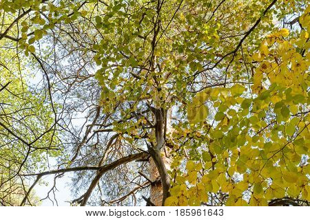 Autumn Birch Early autumn Forest Grove Leaves Leaves of the trees Rays of sunlight Sunlight Sunlight in the branches Trees