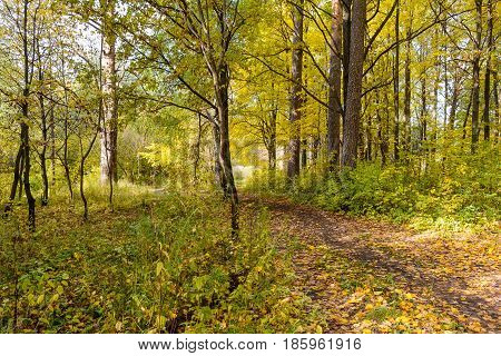 Autumn Early autumn Forest Forest Path Grove Path In The Woods Pine tree Pines Trees