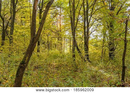 Autumn Early autumn Forest Grove Leaves Leaves of the trees Rays of sunlight Sunlight Sunlight in the branches Trees poster
