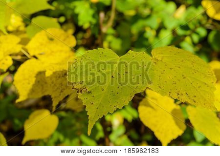Autumn Early autumn Forest Grove Leaves Leaves of the trees Rays of sunlight Sunlight Sunlight in the branches Tree Leaf Trees