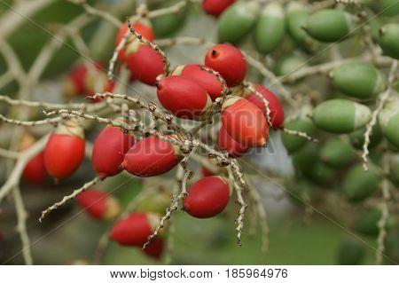 Fruit of Christmas Palm, Sao Tome and Principe, Africa
