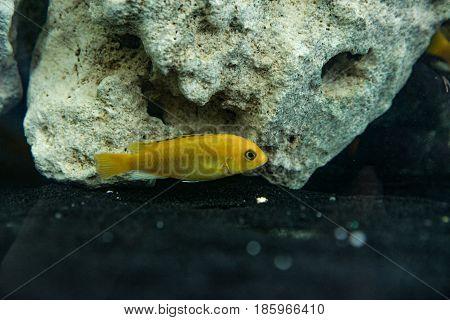 Pseudotropheus deep orange small aquarium fish swimming in the aquarium