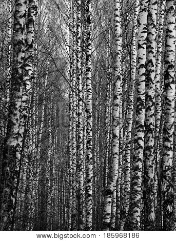 Beautiful birch trees in a forest photographed close up