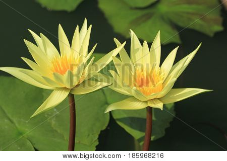 Two yellow waterlily or lotus flower with green leaves background