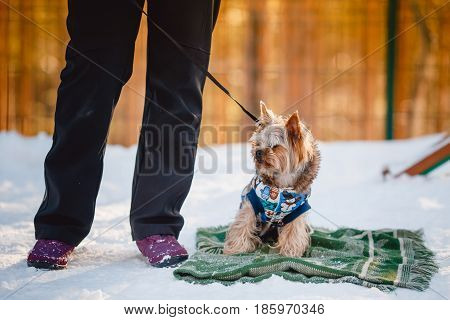 Beautiful Yorkshire terrier Sits on the snow in a jumpsuit together with a cynologist, winter, smile.