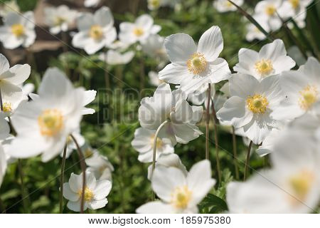 White anemone flowers in spring sunny day