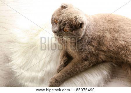 Cute cat lying on furry rug