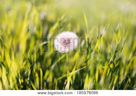 Close-up Photo Of Ripe Dandelion. White Flowers In Green Grass. Closeup Of Fluffy White Dandelion In