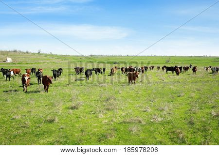 Herd of cattle grazing on green lawn