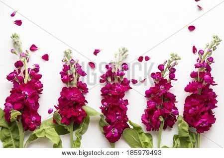 Burgandy stock flowers layed flat on white