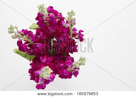Bunch of burgandy stock flowers from above on white