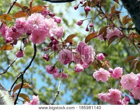 Sakura branch in Thornhill Canada May 9 2017