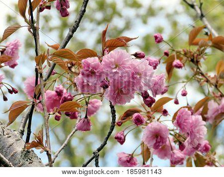 Sakura branchs in Thornhill Canada May 9 2017