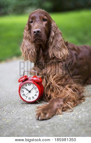 Time concept - cute dog and a red alarm clock