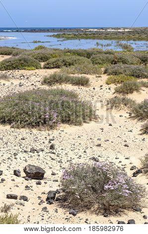 Flora Of Lobos Island In Canary Islands, Spain