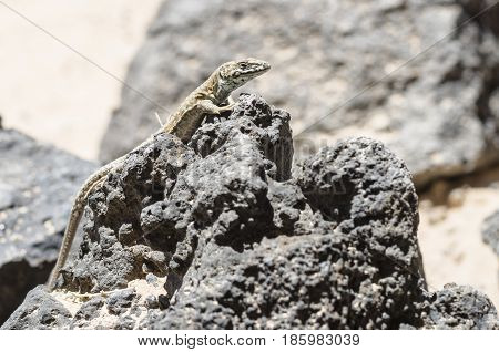 Lizard In Lobos Island In Canary Islands, Spain.