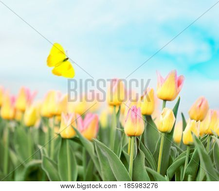 Beautiful butterfly flying over field of blooming tulips