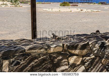 Ground Squirrel (atlantoxerus Getulus) In Fuerteventura, Canary Islands.