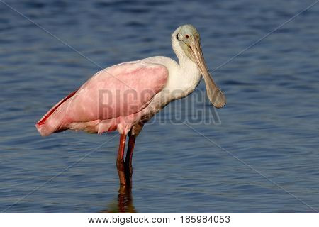 A pink Roseate Spoonbill standing in shallow water in a Florida bay