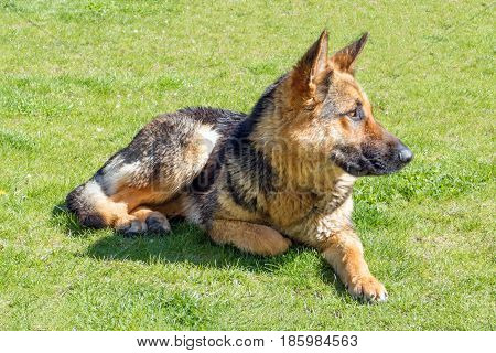 German shepherd without a collar lying on lawn with green grass