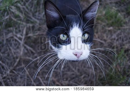 A black and white cat with really long wiskers looking into the camera.