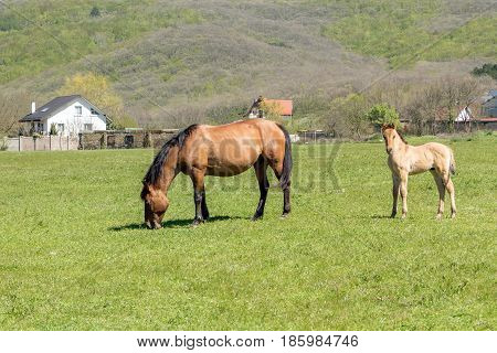 Beautiful horse and a small foal grazing in a field