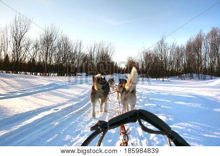 Ride a Siberian husky in Husky park , Murmansk Russia
