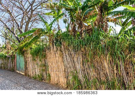 Overgrown cane fence & banana trees in Guatemala, Central America