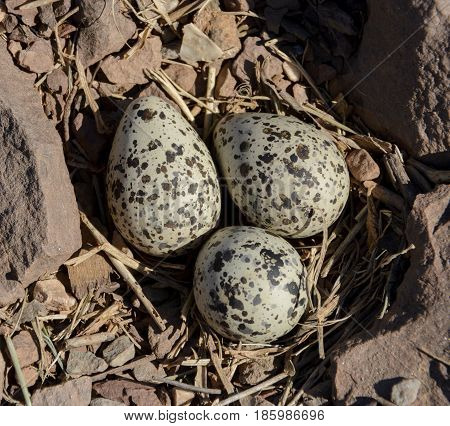 Three Kildeer eggs lay in a gravelly ground nest in Carroll County Maryland, USA.  The Kildeer (Charadrius vociferous) is a wading shorebird found throughout the Western Hemisphere.